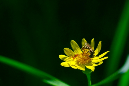 Tiny bee flies above the dandelion flowers in search of nectar  Very beautiful sunny picture photo