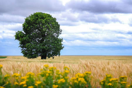 expansive: A large spectacular oak tree in an expansive grassy field with a large amount of clouds on the horizon  Stock Photo
