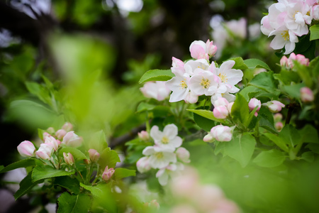 Apple blossoms in spring on a hot day