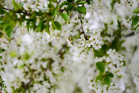 sprig: Sprig of cherry blossoms Stock Photo