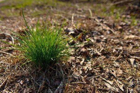 tuft: Tuft of grass in the autumn