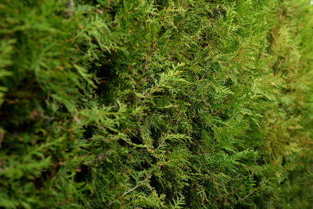Thuja closeup in natural light photo