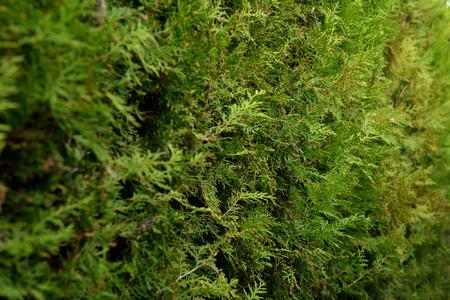 thuja occidentalis: Thuja closeup in natural light