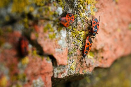 firebug: Firebugs - Pyrrhocoris Apterus on rocky background