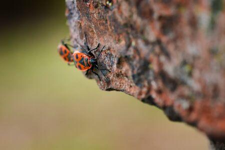 firebug: Firebugs - Pyrrhocoris Apterus on rocky