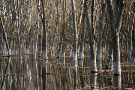 galati: Tree trunks in water with side light, on springtime.
