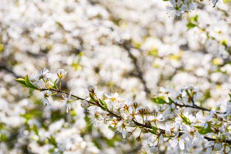 Cherry blossom spring daylight