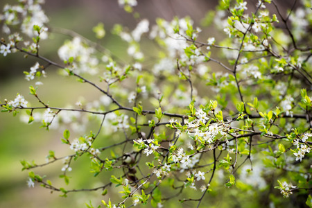 Spring blooming tree branches in natural light