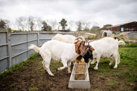 White and brown goats calmly eating grain in a farmyard