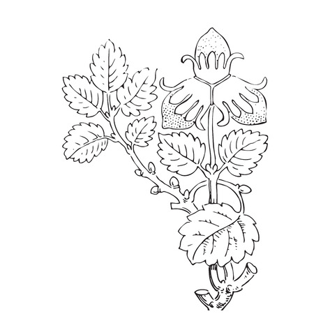 vegetal: Hand drawn illustration of strawberry bushes vector. Branch with buds and berries. Vegetal ornament for coloring book. Black and white colors