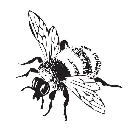 Vector Gravur antike Illustration von Honig fliegende Biene, isoliert auf weißem Hintergrund. Eine fliegende Biene