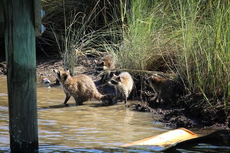 racoon: Racoon Family by the bay