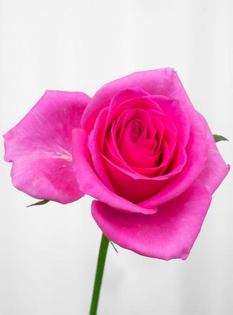 Beautiful pink rose flower
