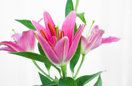 Pink Alstroemeria Flower Stock Photo