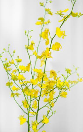 Yellow Oncidium Flower Stock Photo
