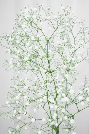 White Gypsophila flowers