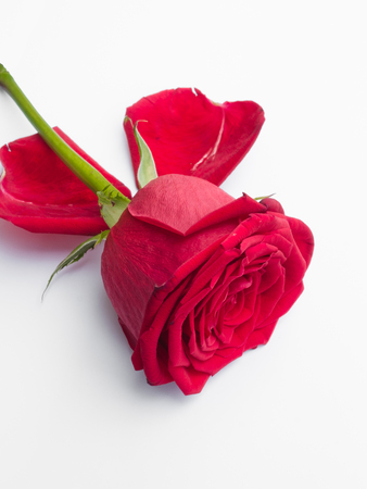 Red rose and rose petals Stock Photo