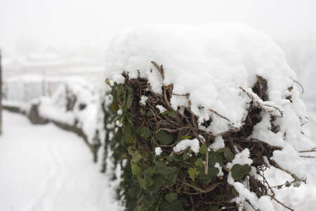 Ivy plant in thesnow on a winter day Stock Photo
