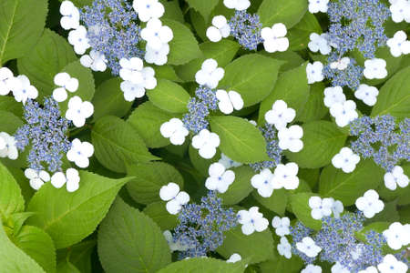 outdoor pursuit: Closeup White and blue flowers with green leaves in spring time Stock Photo