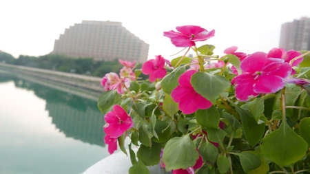 shocking: Shocking pink flowers in front of building