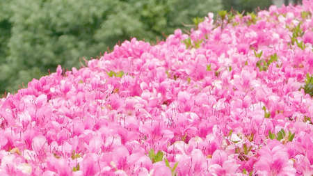 moving images: Pink blossom decorations