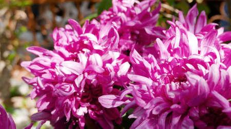 cosmo: Closeup pink cosmo flowers in the backyard