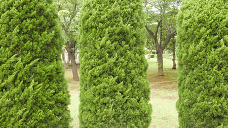 pine green: Three pine green trees in the garden Stock Photo