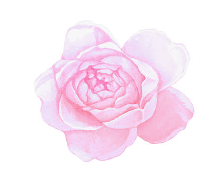 The isolated pink watercolor paintbrush peony flower on white background