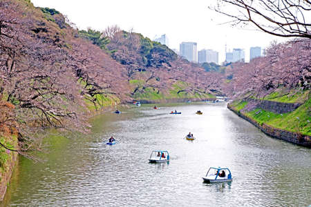 The Japan public park with pink sakura tree, river, blossom flowers in springtime