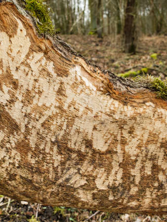 Beaver tooth marks visible on gnawed tree trunk