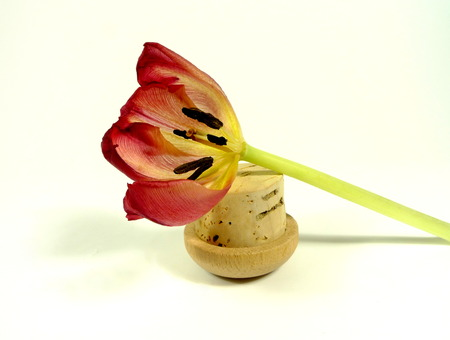 wilting: wilting tulip Stock Photo