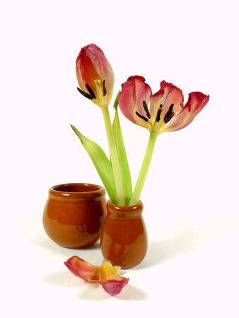 wilting: wilting tulips Stock Photo