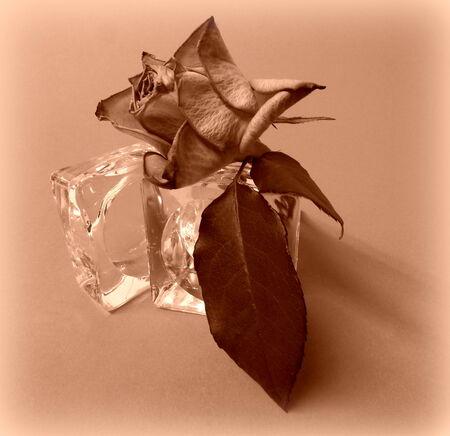 wilting: marchitamiento Rosa