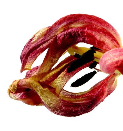 wilting: tulip�n marchitamiento