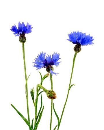 blue flower: cornflowers Stock Photo