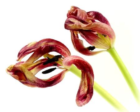 wilting: tulipanes marchitas