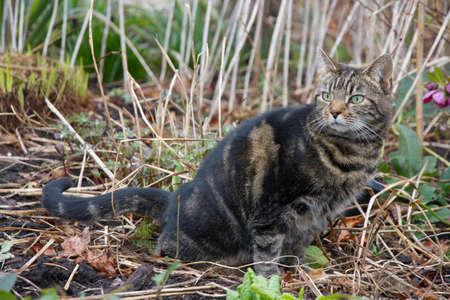 tabby cat fouling in garden