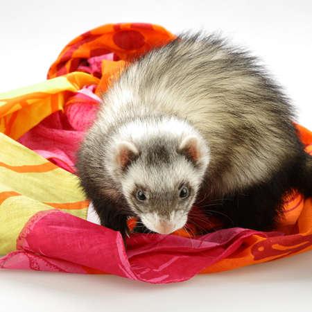 Ferret - home pet captured in studio on color fabrics