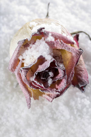 frail: Fallen rose frosted on ice cover