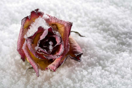 freeze dried: Fallen rose frosted on ice cover in studio