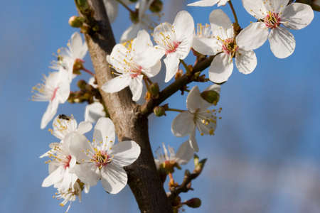 abloom: Spring nature - fruit tree blossoms - photograph is made in Czech nature