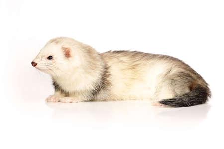 gronostaj: Ferret boy on white background posing for portrait in studio