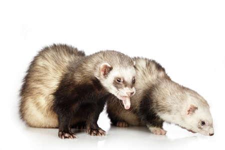 gronostaj: Couple of ferrets on white background posing for portrait in studio Zdjęcie Seryjne
