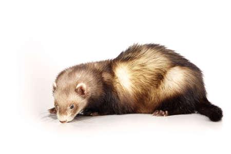 gronostaj: Nice ferret male on white background posing for portrait in studio Zdjęcie Seryjne