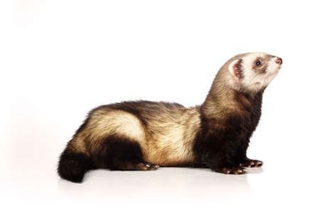 Standard color ferret male on white background posing for portrait in studio