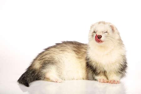 gronostaj: Angora ferret on white background posing for portrait in studio Zdjęcie Seryjne