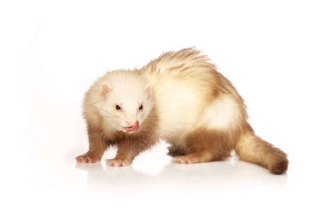 Champagne ferret on white background posing for portrait in studio