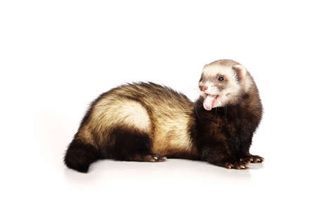 gronostaj: Yawning ferret on white background posing for portrait in studio