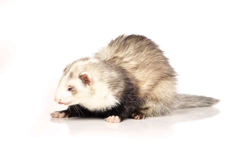 Other pattern ferret on white background posing for portrait in studio