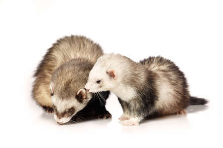Couple of ferrets on white background posing for portrait in studio Stock Photo